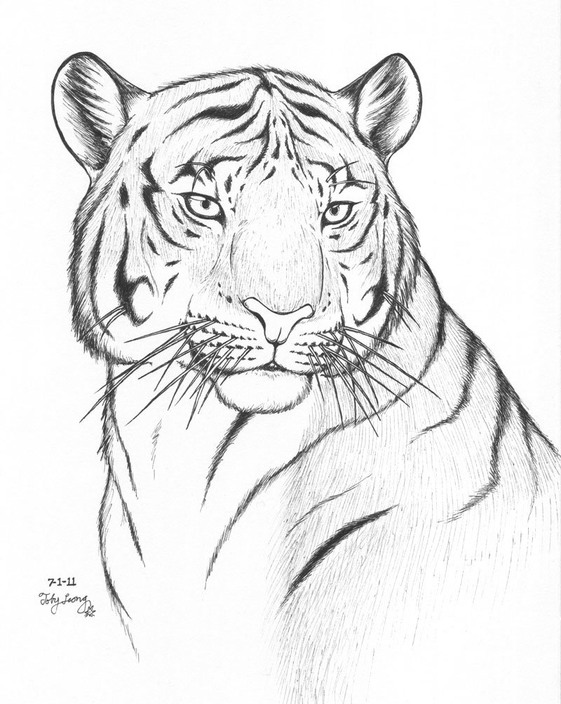 Line Drawing Tiger : Tiger line drawing
